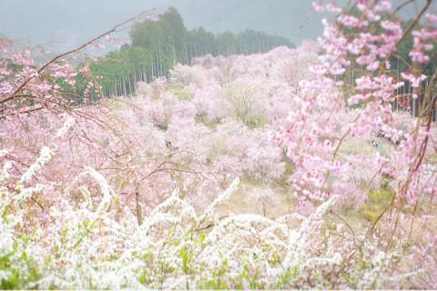 KAZUTO先生の「山をピンクに染めるしだれ桜を幻想的に撮ろう!」