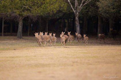 奈良公園 鹿寄せ