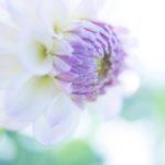 【募集告知】10/19(木)開催*SHA.sha.PAKU vol.43「秋の彩り*ダリアを撮りに行こう♪」